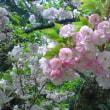 桜2011