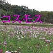 慈眼寺公園のコスモスも満開になっていました。