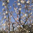 梅は咲いたか~桜はまだかいな(*^.^*)