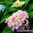 紫陽花 復活です!
