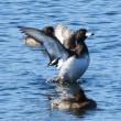 狭山湖へ鳥撮り散歩 11月11日&15日