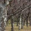 青葉の森公園のロウバイ、白梅