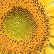 ひまわりの花の役割分担