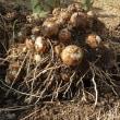 サトイモの大収穫