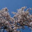 近衛邸跡の桜