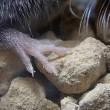 ワタセジネズミの観察:体長等・・・