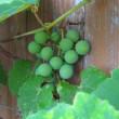 屋上のブドウがはじめてなりました