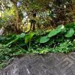 室戸岬  磯場の散策路は野菊と地殻変動の爪痕       2018.11.24.(4)