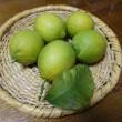 レモン収穫