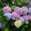 紫陽花と公園
