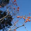 おはようの花」 柿(カキ)の実12月