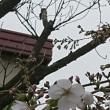 桜咲き始めました!