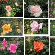 今年の秋のバラ展