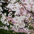 温泉街と桜
