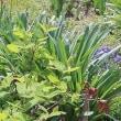 花壇内のミニ球根畑、「むすかりとブスキニア」。
