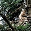 オオタカの雛たち5