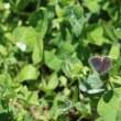 蝶(イチモンジ、ヤマトシジミ)が飛んでいます、とんびのバトル?