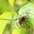 スズメバチ(1)
