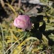 """冬薔薇と女性コーラス「花の風」 ・・・ winter roses and a female chorus """" wind of flowers"""""""