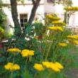 夏の薔薇 と 鋸草