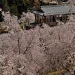 桜 初見参 2景