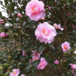 山茶花の花他