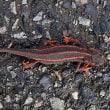 正中線に沿った赤いラインが綺麗に出たシリケンイモリ