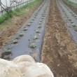 フルーツパプリカ定植、ミニ大根や蕪のトンネル撤去