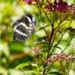 庭にきた蝶(17)ホシミスジ