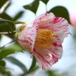 ツバキ園の花々