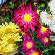 赤や黄色の菊の花