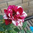 八重咲の秋明菊・・・