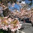 鎌倉の河津桜🌸