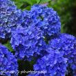 小牧市民四季の森 紫陽花 その2