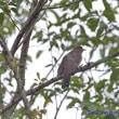 今日の鳥コレクション・・・ツツドリ(赤色型)
