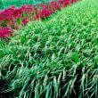 彼岸花の季節 (ガンと共に 36)