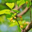 木に咲く花とサクランボ(赤塚植物園)