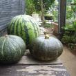 秋野菜の準備-②