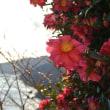 さざんか山茶花 咲いた岬