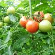台風で倒れたトマトに根性あり?