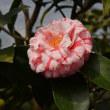 春の訪れを告げる花『つばき』