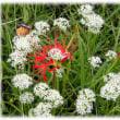 秋に旬を感じる花(^^♪古代には「みら」と呼ばれていた純白の可愛い「ニラの花」
