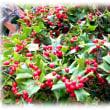 初春らしく…(^^♪魔除けの力が宿っているモチノキ科の常緑で真冬に目立つ赤い実をいっぱい付けた「セイヨウヒイラギ」