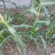 トウモロコシ収穫間近