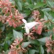 花が散っても華やかなツクバネウツギ