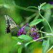 馬見丘公園の蝶  8月 8日