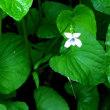 春の花・ツボスミレ1