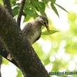 ムクドリの幼鳥 2017年8月22日