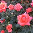 石橋文化センターの薔薇