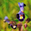 自宅の庭には毎年たくさんのトレニアが咲き乱れます。(Photo No.14091)